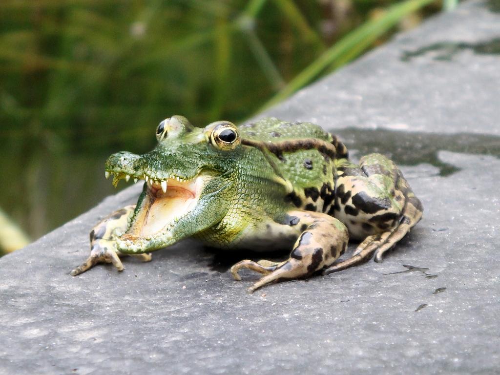 The crocfrog